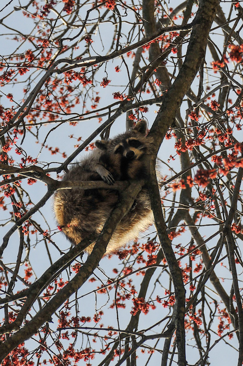brookville park queens nyc raccoon