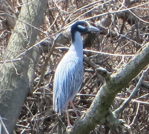 brookville park queens nyc yellow-crowned night heron