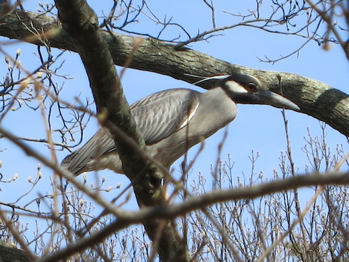 brookville park queens nyc conselyeas pond heron
