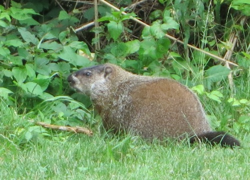 conference house park woodchuck groundhog staten island nyc