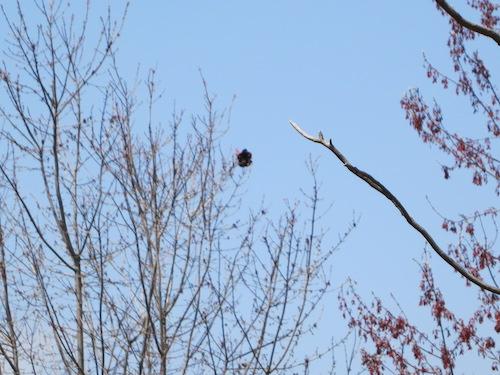eibs pond park hill staten island nyc red-winged blackbird