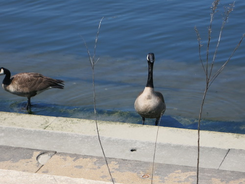 newtown creek nature walk greenpoint brooklyn nyc geese