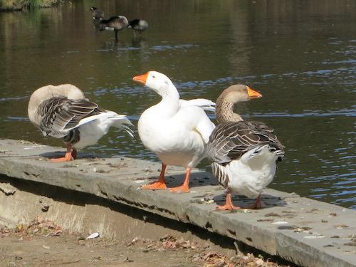 willowbrook park geese staten island greenbelt nyc