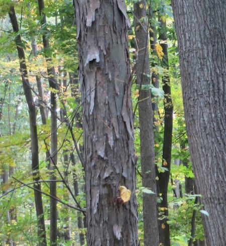 willowbrook park shagbark hickory staten island greenbelt nyc